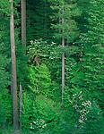 Willamette National Forest, OR  <br /> Flowering dogwood (Cornus florida) in a fir - hemlock forest in the McKenzie River Valley