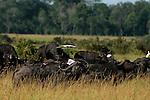 Africa  Kenya Masai Mara Buffalo