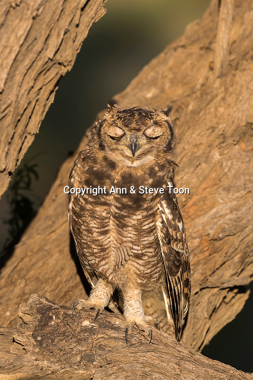 Spotted eagle owl (Bubo africanus), Kgalagadi transfrontier park, Northern Cape, South Africa, February 2017