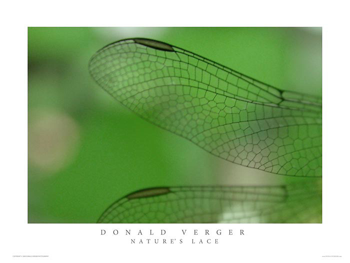 Dragon Fly awakens on Viburnum- cold fall morning<br /> In the collections of Mercy Hospital and Maine Medical Center, Portland