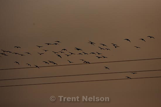 geese. along the Jordan River Parkwayå, Sunday, December 27, 2009.