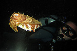 Kenting, Taiwan -- Diver meets cuttlefish at night.<br /> <br /> What a strange encounter!