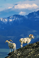 Dall sheep rams on rocky outcrop in the Alaska mountain range, Denali National Park, Alaska.