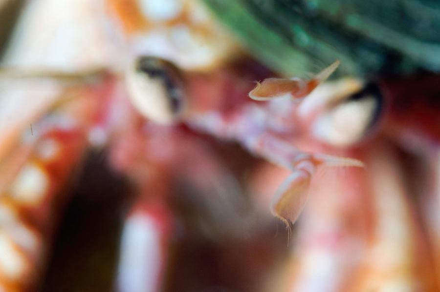 Common hermit crab, Pagurus bernhardus, Iceland