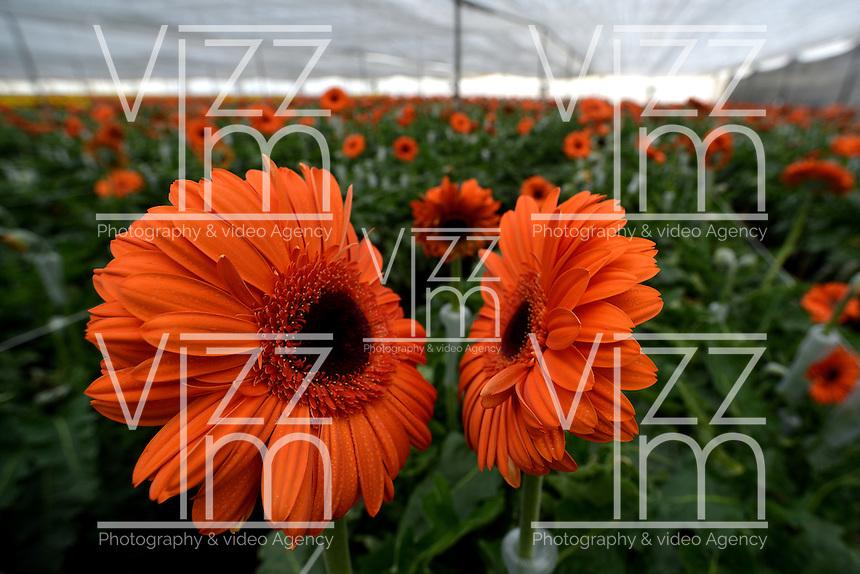 FACATATIVA -COLOMBIA. 29-01-2014. Llega febrero y los floricultores colombianos tienen la gran oportunidad de iniciar el año con el pie derecho gracias al día de San Valentín que es por excelencia el día de los enamorados en Estados Unidos y Europa. Por estos días en Elite Flowers en la Sabana de Bogotá trabajan a todo marcha para surtir el mercado, para este año en el cual esperan incrementar sus ventas en 12% respecto al año anterior. February is coming and colombian growers have a big opportunity to start this year so well thanks to the quintessential St. Valentine's day in USA and Europe. For these days in Elite Flowers in the Sabana of Bogota flowers plantations are working full time to fill the market for this year and increase their sales by 12% compared to last year. Photo: VizzorImage/Gabriel Aponte/ Staff
