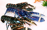 COPY BY TOM BEDFORD<br /> A rare blue lobster called Chelsea amongst two black ones, believed to be one in 2,000,000 that was caught off the coast of Scotland, at Coakley Greene fishmongers in the indoor market, Swansea, Wales, UK.