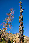 Burned pine trees near Salmon River, Idaho