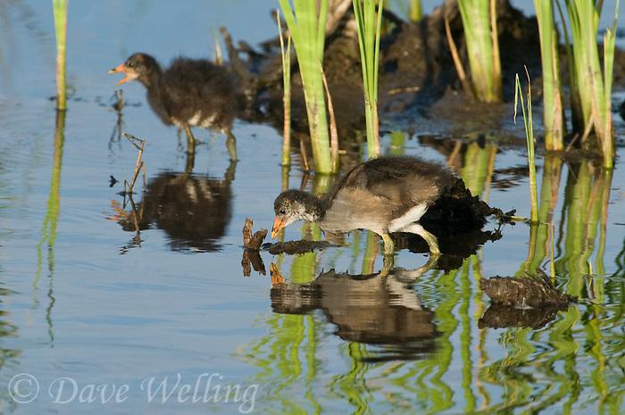 559500002 common gallinules gallinula galeata or common moorhens gallinula chloropus wild texas.Chicks in Pond.Anahuac National Wildlife Refuge, Texas