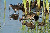 559500002 common gallinules gallinula galeata or common moorhens gallinula chloropus wild texas.Chicks in Pond.Anahuac National Wildlife Refuge, Texas