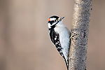 Male downy woodpecker on a February day in northern Wisconsin.