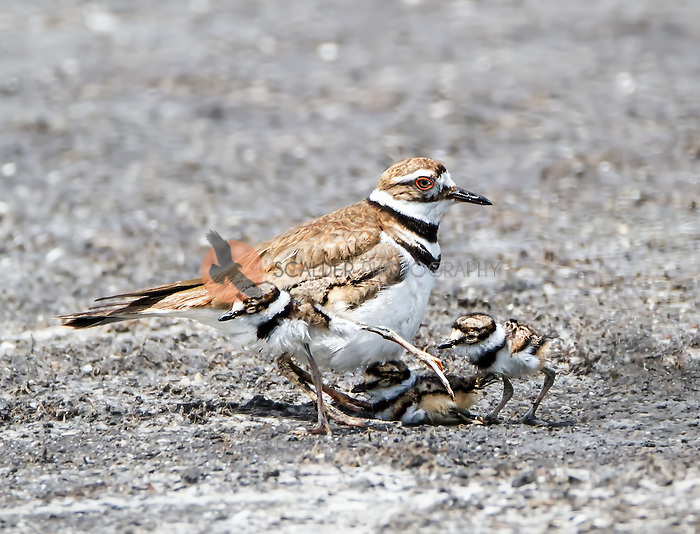 Adult Killdeer with three chicks, one hiding under  the adult