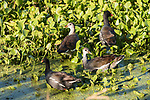 Brazoria County, Damon, Texas; a pair of juvenile Common Moorhen chicks and their parents foraging for food amongst the water plants on the surface of the slough