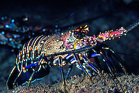 A Banded Spiny Lobster (Panulirus marginatus).Found only in Hawaiian waters. Hawaiian name is Ula. This species is highly sought after by local lobster hunters.