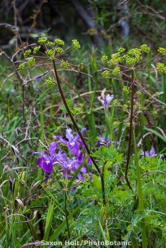 Lomatium californicum Wild Celery, California native perennial wildflower, beneficial insect, pollinator plant flowering in Menzies Garden of California Native Plants, San Francisco Botanical Garden