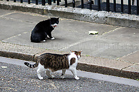 The Downing Street's Battle: Larry (10 Downing Street cat and Chief Mouser to the Cabinet Office) Vs Palmerston (Foreign &amp; Commonwealth Office Cat anf Chief Mouser).<br /> <br /> London, 12/06/2017. Today, Theresa May's reshuffled Cabinet met at 10 Downing Street after the General Election of the 8 June 2017. Philip Hammond MP - not present in the photos - was confirmed as Chancellor of the Exchequer.<br /> After 5 years of the Coalition Government (Conservatives &amp; Liberal Democrats) led by the Conservative Party leader David Cameron, and one year of David Cameron's Government (Who resigned after the Brexit victory at the EU Referendum held in 2016), British people voted in the following way: the Conservative Party gained 318 seats (42.4% - 13,667,213 votes &ndash; 12 seats less than 2015), Labour Party 262 seats (40,0% - 12,874,985 votes &ndash; 30 seats more then 2015); Scottish National Party, SNP 35 seats (3,0% - 977,569 votes &ndash; 21 seats less than 2015); Liberal Democrats 12 seats (7,4% - 2,371,772 votes &ndash; 4 seats more than 2015); Democratic Unionist Party 10 seats (0,9% - 292,316 votes &ndash; 2 seats more than 2015); Sinn Fein 7 seats (0,8% - 238,915 votes &ndash; 3 seats more than 2015); Plaid Cymru 4 seats (0,5% - 164,466 votes &ndash; 1 seat more than 2015); Green Party 1 seat (1,6% - 525,371votes &ndash; Same seat of 2015); UKIP 0 seat (1.8% - 593,852 votes); others 1 seat.<br /> The definitive turn out of the election was 68.7%, 2% higher than the 2015.<br /> <br /> For more info about the election result click here: http://bbc.in/2qVyNRd &amp; http://bit.ly/2s9ob51<br /> <br /> For more info about the Cabinet Ministers click here: https://goo.gl/wmRYRd