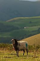Europe/France/Aquitaine/64/Pyrénées-Atlantiques/Pays-Basque/Soule/ Plateau d'Iraty :Mouton en pature, route vers Estérençuby