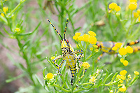 Elegant Grasshopper, Zonocerus elegans, Liuwa Plain National Park, Western Province, Zambia, Africa