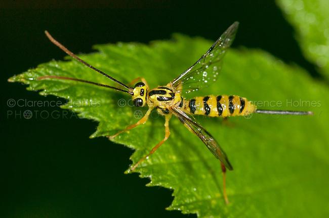 Ichneumon Wasp (Lycorina glaucomata) - Female, West Harrison, Westchester County, New York