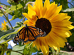 Sentinel/Dan Irving.A Monarch butterfly sits on a sunflower outside the North Branch of the Herrick District Library on Wednesday afternoon after being released as part of Monarch Butterfly Tag Day. 50 tagged butterflies were released, some may migrate as far south as Mexico..(8/30/06).(8/30/06)