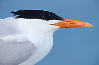 Royal Tern (Sterna maxima). Yucatan. Mexico. February.