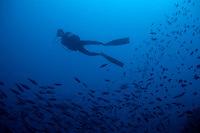 One scuba diver swimming alongside a school of sardines, Rasdhoo Atoll, Maldive Islands.