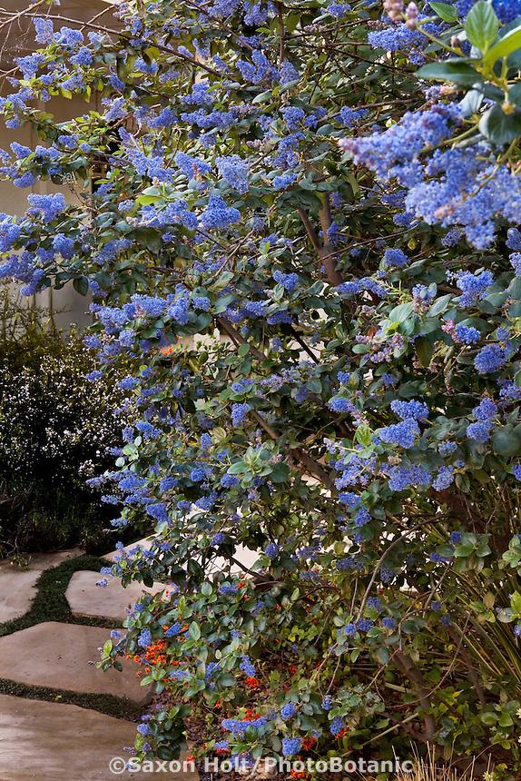 Blue flowering shrub, California lilac (Ceanothus 'Ray Hartman') Southern California back yard native plant garden