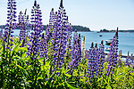Lupines at the harbor in Stonington, Maine, USA
