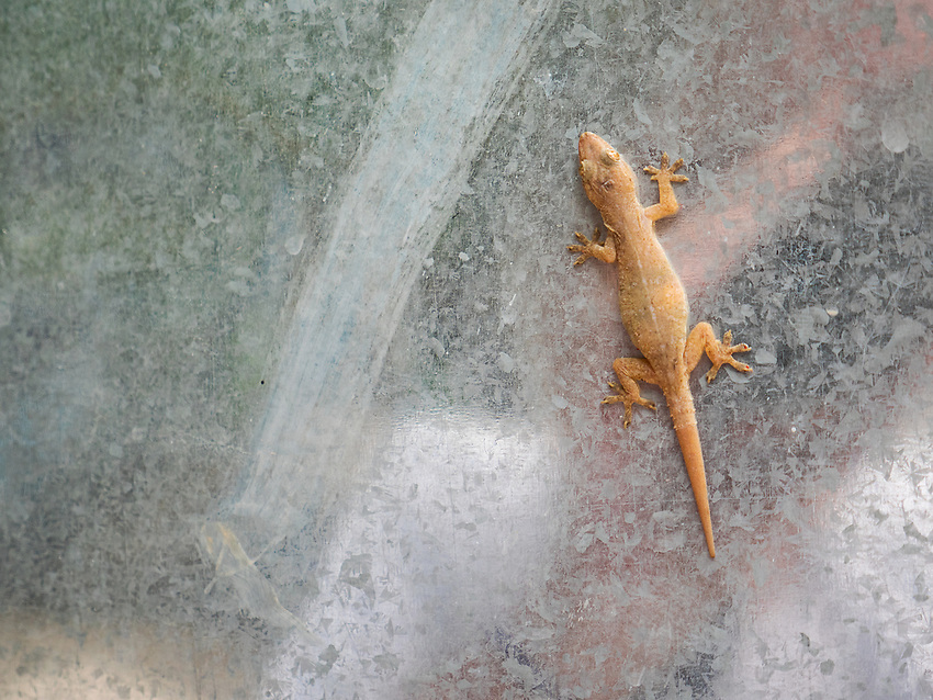 A gekko on a steel door, Mandalay, Myanmar