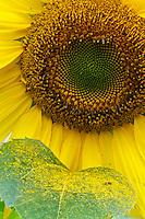 Sunflower Pollen on Leaf