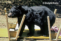 MA01-147z  Black Bear - at picnic site, knocked over table - Ursus americanus
