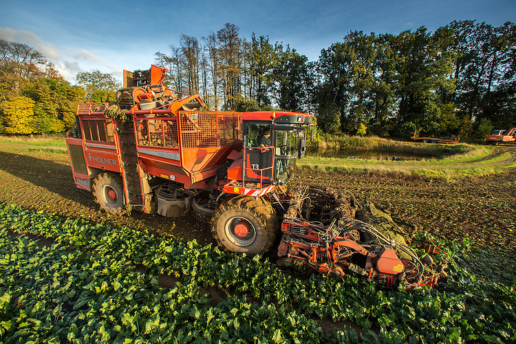 Holmer Terra Dos T3 self-propelled sugar beet harvester lifting beet in South Lincolnshire<br /> Picture Tim Scrivener 07850 303986