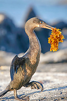 flightless cormorant, or Galapagos cormorant, Phalacrocorax harrisi, carrying seaweed, endemic species which has lost the ability to fly as there are no predators in the islands to prey on it, Galapagos Islands, Ecuador. This Galapagos endemic cormorant, bird,.
