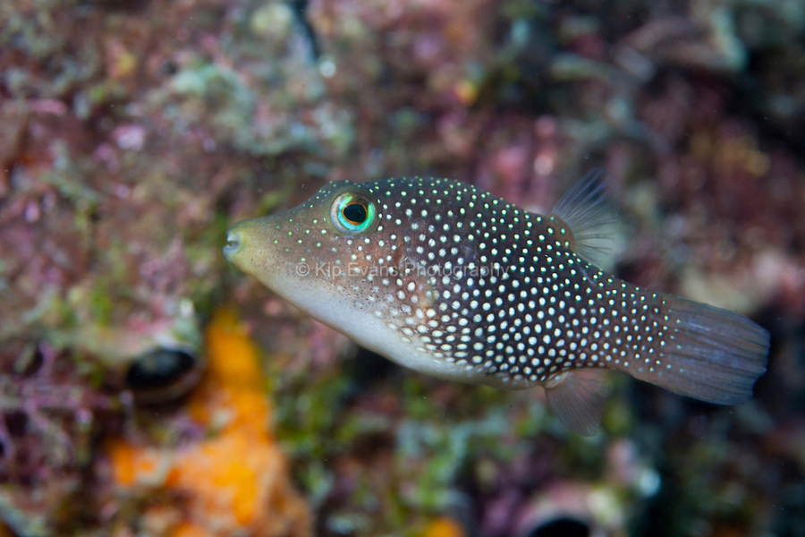A sharp nose puffer fish on a coral reef off the coast of Coiba, Panama.