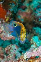 Speckled Damsel, Pomacentrus bankanensis, Uhak Reef dive site, Uhak Village, Wetar Island, near Alor, Indonesia, Banda Sea, Pacific Ocean