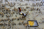 Crop fields are submerged in water after a deadly flood devastated the area.  Photos how workers trying to salvage as much as they can from fields destroyed by the annual disaster.<br /> <br /> Thousands of hectares of rice, corn, jute and vegetable fields were swamped by the flood in Sariakandi, Bogura, Bangladesh.  Photographer Azim Khan Ronnie said farmers lost their cattle and hundreds of homes were wrecked.  SEE OUR COPY FOR DETAILS.<br /> <br /> Please byline: Azim Khan Ronnie/Solent News<br /> <br /> © Azim Khan Ronnie/Solent News & Photo Agency<br /> UK +44 (0) 2380 458800