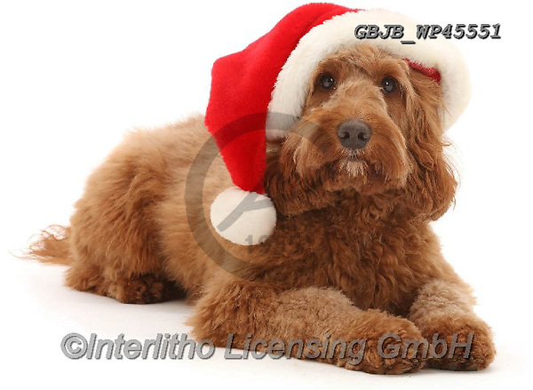 Kim, CHRISTMAS ANIMALS, WEIHNACHTEN TIERE, NAVIDAD ANIMALES, photos+++++,GBJBWP45551,#xa#