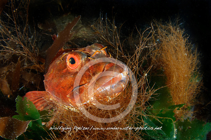 Scorpaena scrofa, Roter Drachenkopf, Red scorpionfish, Reykjavík, Faxafloi-Bucht, Island, Nord Atlantik Faxafloi-Bay, Iceland, North atlantic