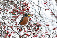 01382-05313 American Robin (Turdus migratorius) eating Hawthorn berry in winter Marion Co. IL