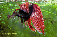 BY05-028z  Siamese Fighting Fish - male mating with egg laden female - Betta splendens