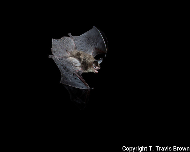 Northern long-eared bat in flight.