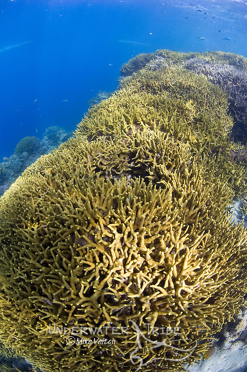 Shallow coral reef, Acropora sp., Yap, Federated States of Micronesia, Pacific Ocean