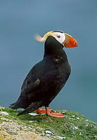 tufted puffin, Fratercula cirrhata, St. George Island, The Pribilofs, Alaska, Pacific Ocean