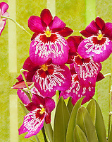 Miltonia Miltoniopsis Mario van Peebles, waterfall type orchid vivid pink, genus is native to Central and South America , Miltoniopsis Newton Falls, hybrid