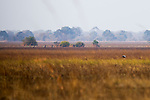 Illegal fisherman walking through floodplain, Busanga Plains, Kafue National Park, Zambia
