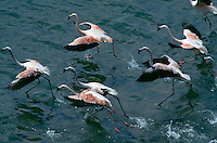 Chilean flamingos feed in the Bahia de Paracas.  They are the inspiration for the red outer panels of the Peruvian flag. Reserva Nacional de Paracas is the most important wildlife sanctuary on the Peruvian coast.