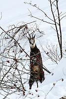 Chamois crawlin on a bush