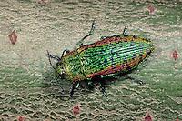 Großer Weidenprachtkäfer, Großer Weiden-Prachtkäfer, Ovalisia dives, Scintillatrix dives, Green Willow Metallic Wood-borer