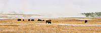 67545-09101 Bison near Midway Geyser Basin, Yellowstone National Park, WY