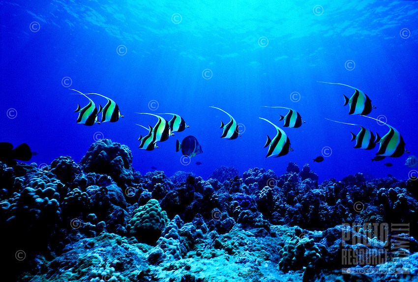 The colorfu Achilles Tang (Achanthurus achilles) is ofter found in the shallow surge zones near the reefs edge. Hawaiian name is (paku iku i )