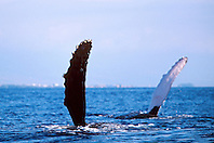 humpback whale double pec-slapping, Megaptera novaeangliae, Big Island, Hawaii, Pacific Ocean